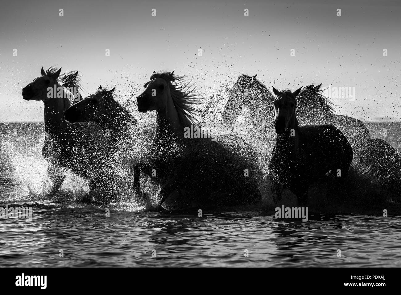 Camargue horses galloping through the sea, Provence, France. - Stock Image