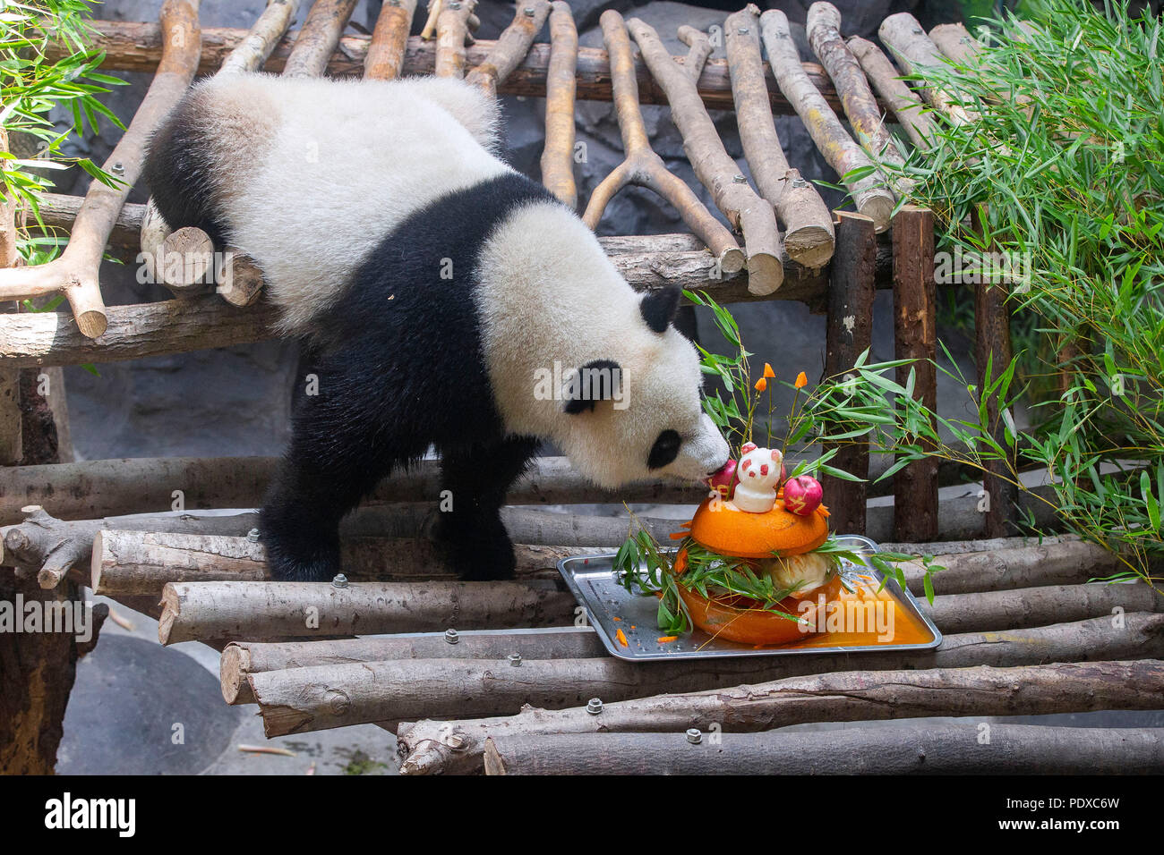 Nanjing, China's Jiangsu Province. 10th Aug, 2018. A giant panda twin eats birthday cake in an air-conditioned room at the Nanjing Hongshan Forest Zoo in Nanjing, capital of east China's Jiangsu Province, Aug. 10, 2018. Staff workers at the zoo celebrated the 3rd birthday anniversary for the female giant panda twins 'Hehe' and 'Jiujiu' on Friday. Credit: Su Yang/Xinhua/Alamy Live News - Stock Image