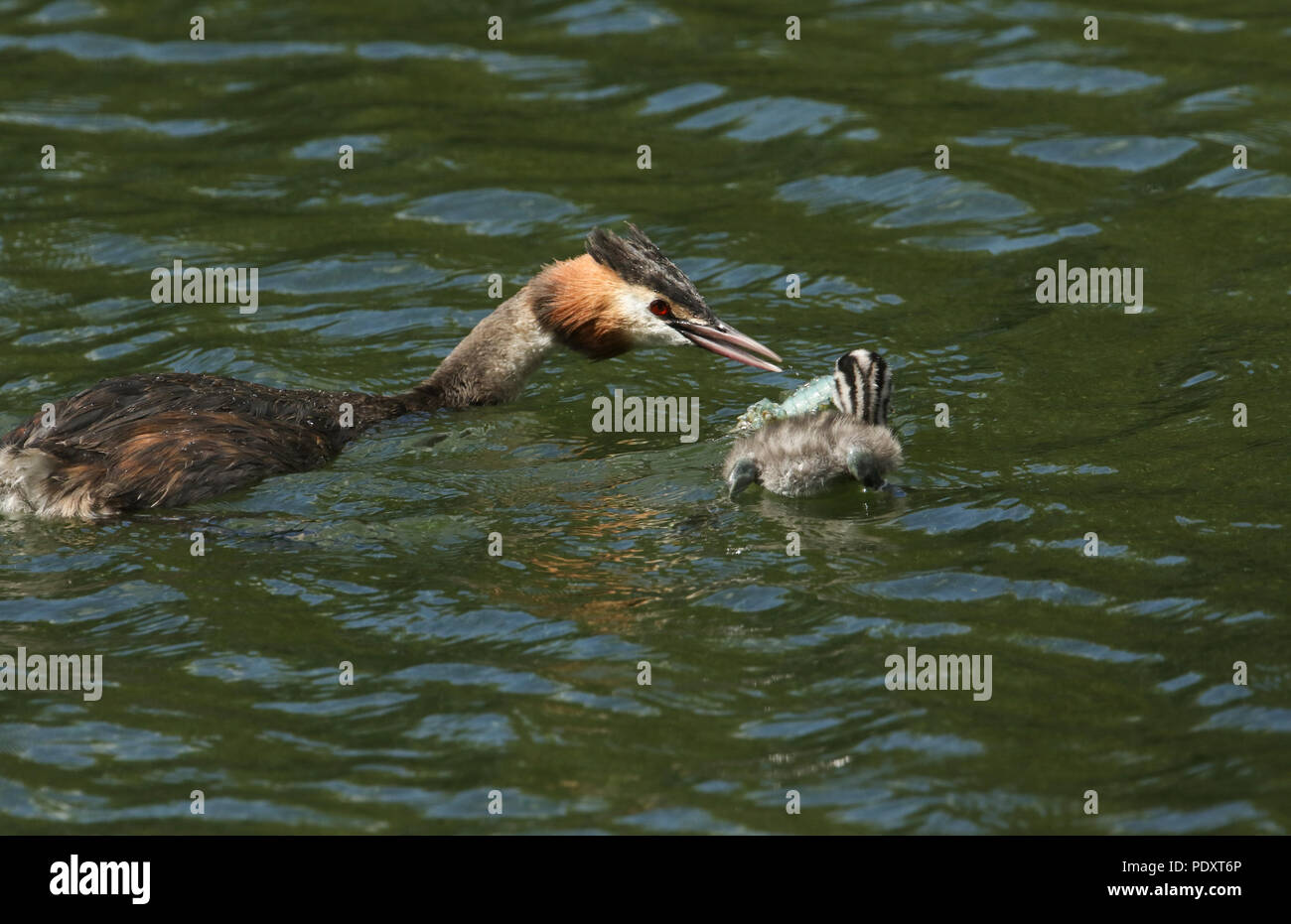 Two stunning Great Crested Grebe (Podiceps cristatus) swimming in a river. The parent bird is feeding a Crayfish to the baby. - Stock Image