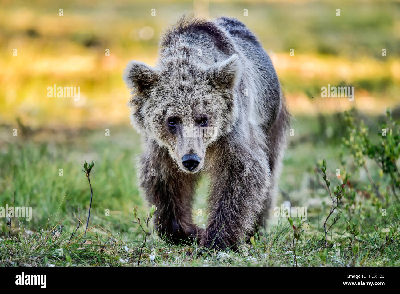 Brown bear is wandering around the swamp. - Stock Image
