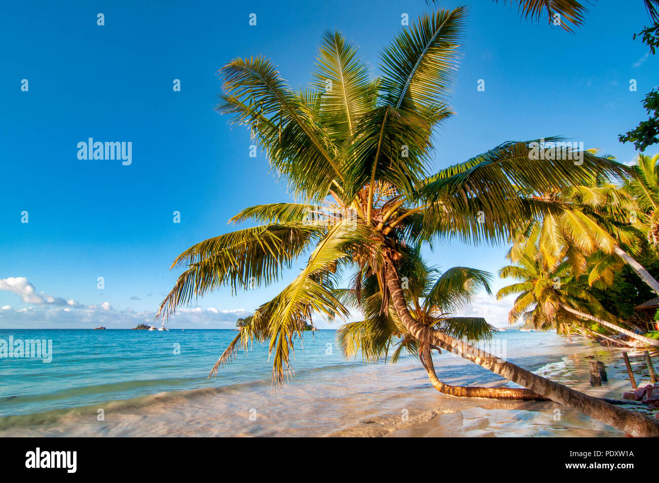 Koko-d-mer palm in Anse Volbert, Praslin, Seychelles - Stock Image