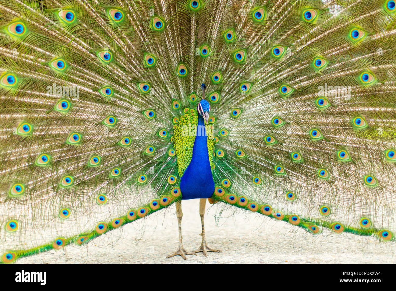 Peacock with Splayed Tail Feathers - Stock Image
