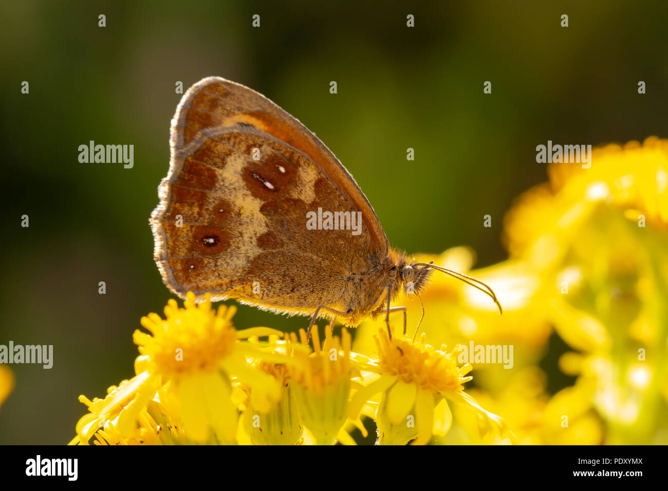 Macro shot of Gatekeeper butterfly sitting on Ragwort flowers feeding. - Stock Image