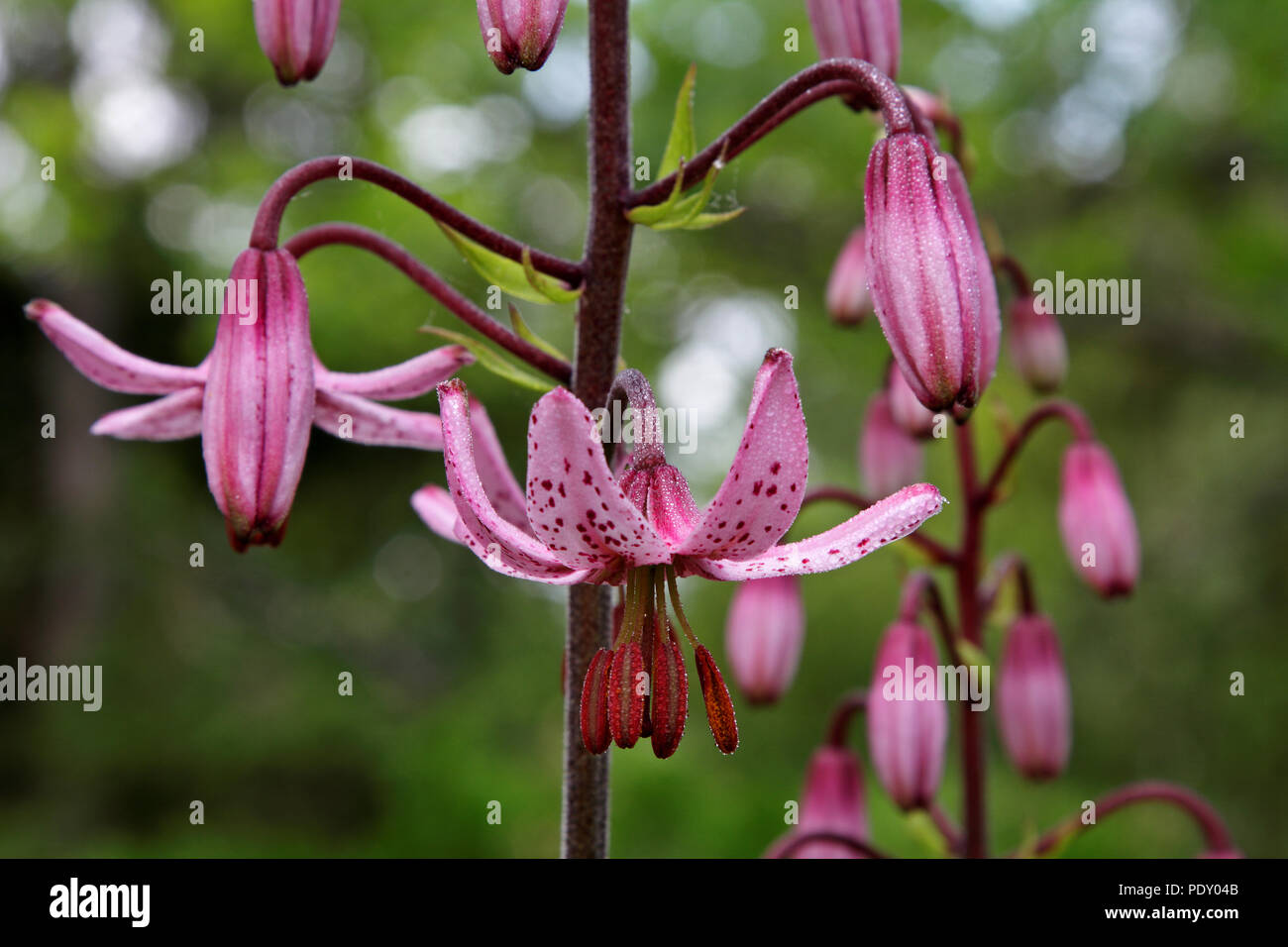 Lily valley flowers water drops stock photos lily valley flowers pink flowers of lily in the midsummer evening stock image izmirmasajfo