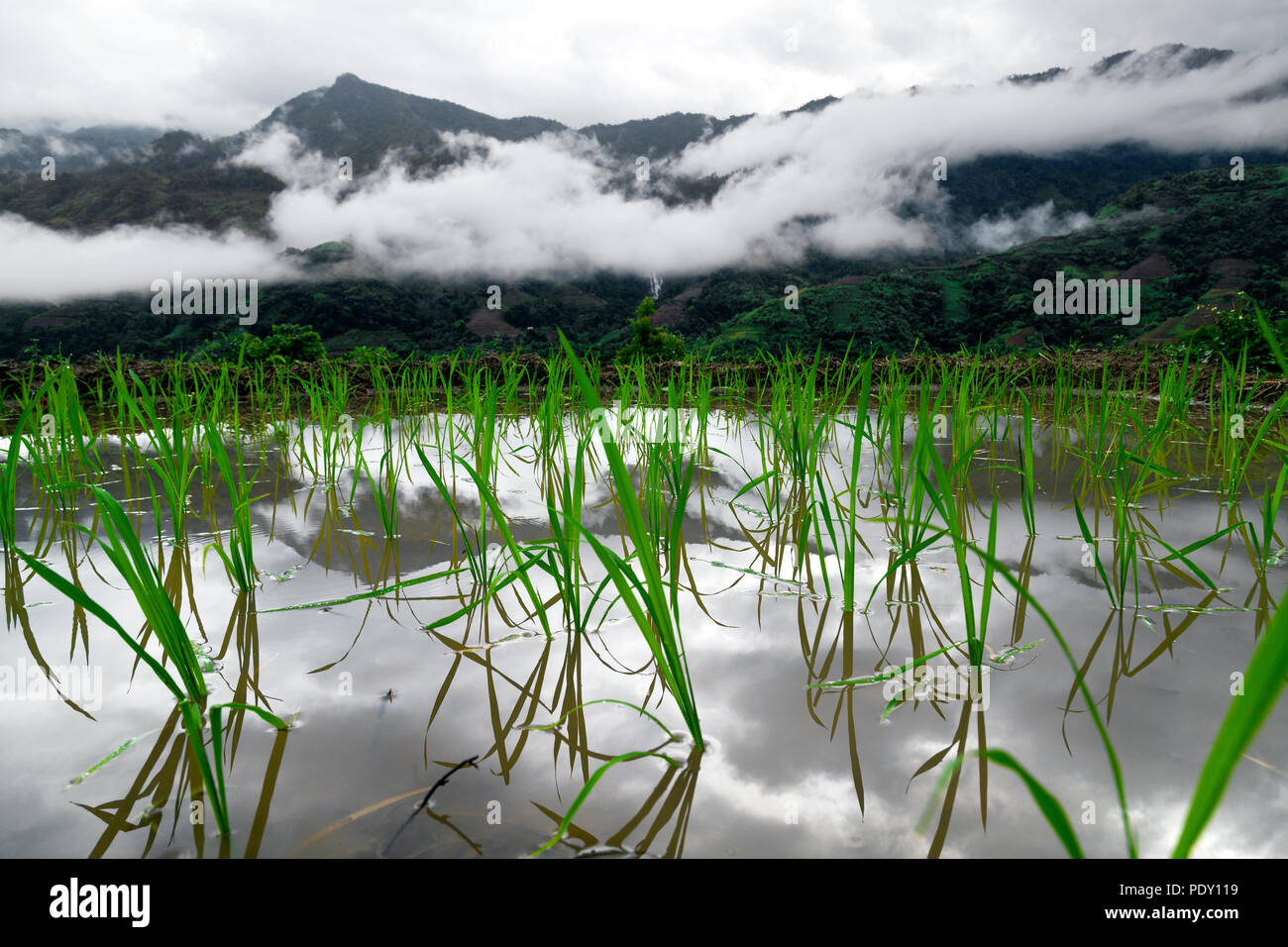 Newly planted rice in terraces in Ha Giang province, northwest Vietnam - Stock Image