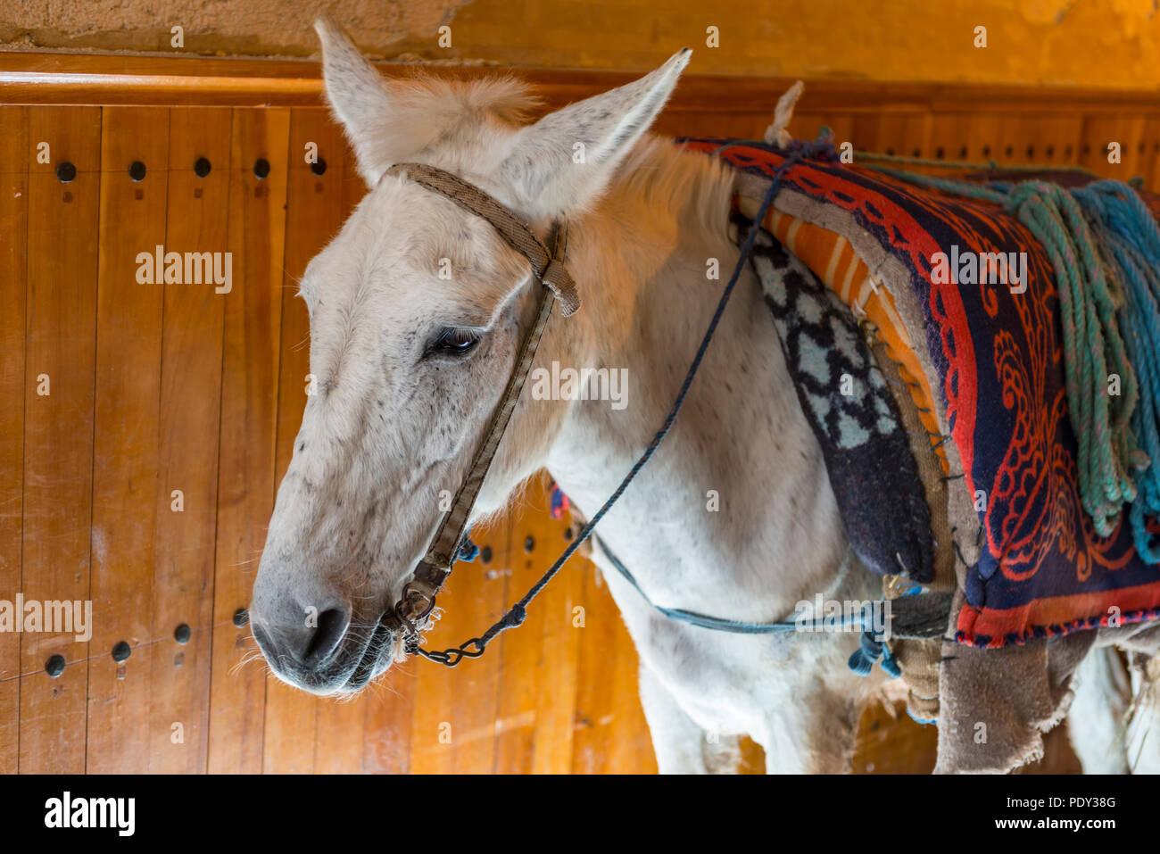 White donkey with colorful saddle, Fez medina, Fes, Morocco - Stock Image