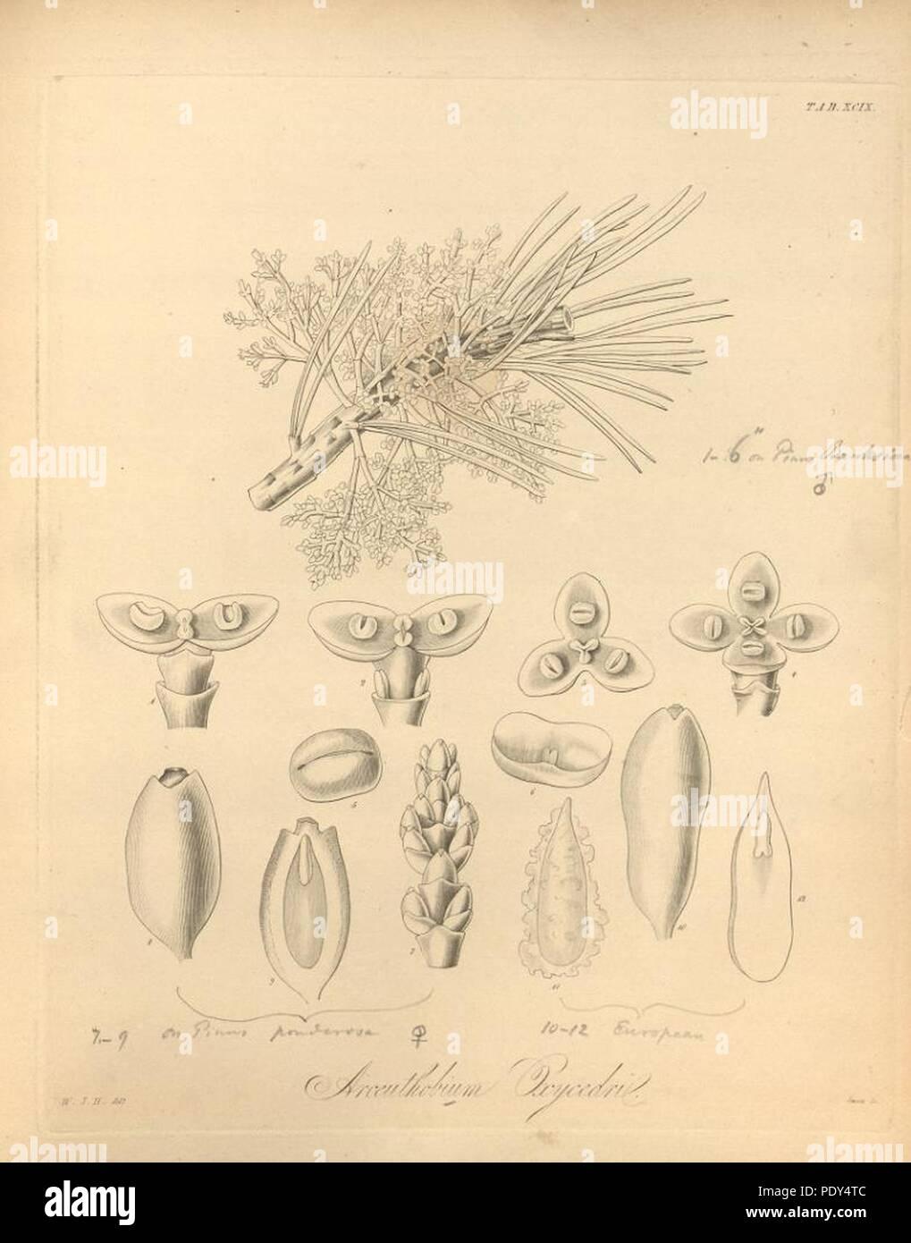 Arceuthobium oxycedri. - Stock Image