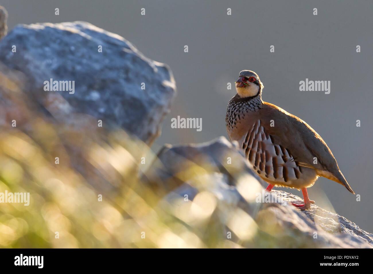 Red-legged Partridge; Alectoris rufa - Stock Image