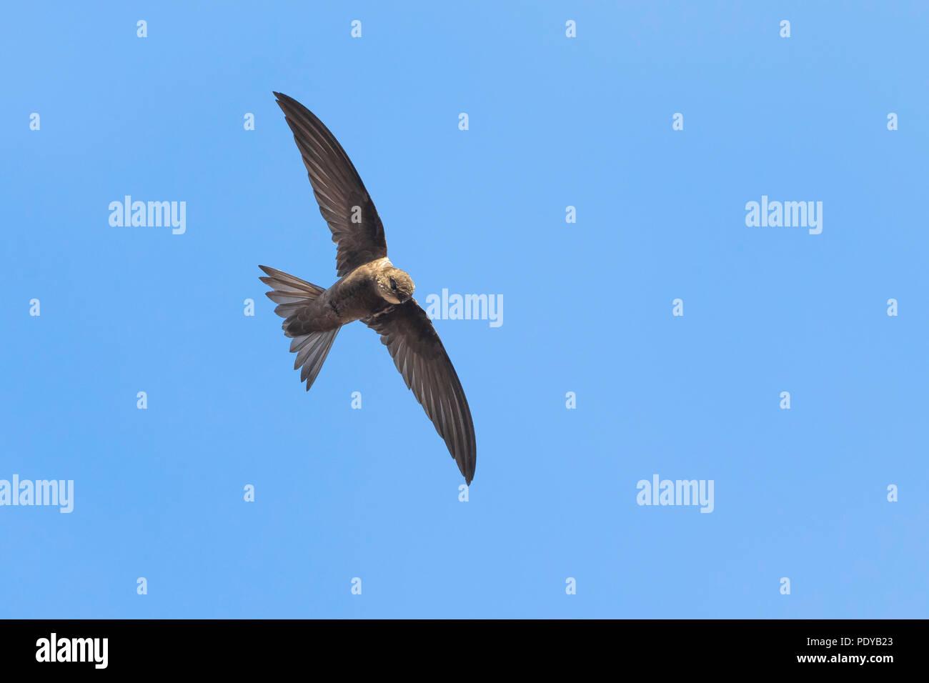 Cape Verde Swift; Apus alexandri - Stock Image