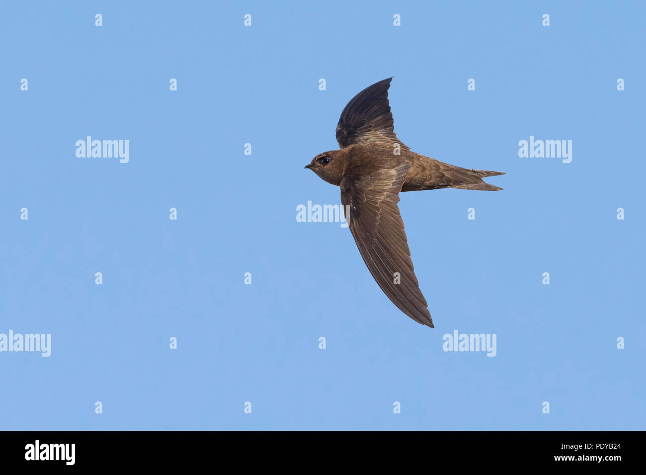Cape Verde Swift; Apus alexandri - Stock Image