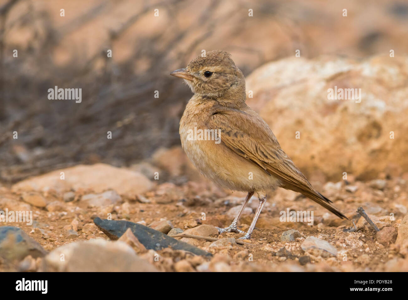 Bar-tailed Lark; Ammomanes cinctura - Stock Image