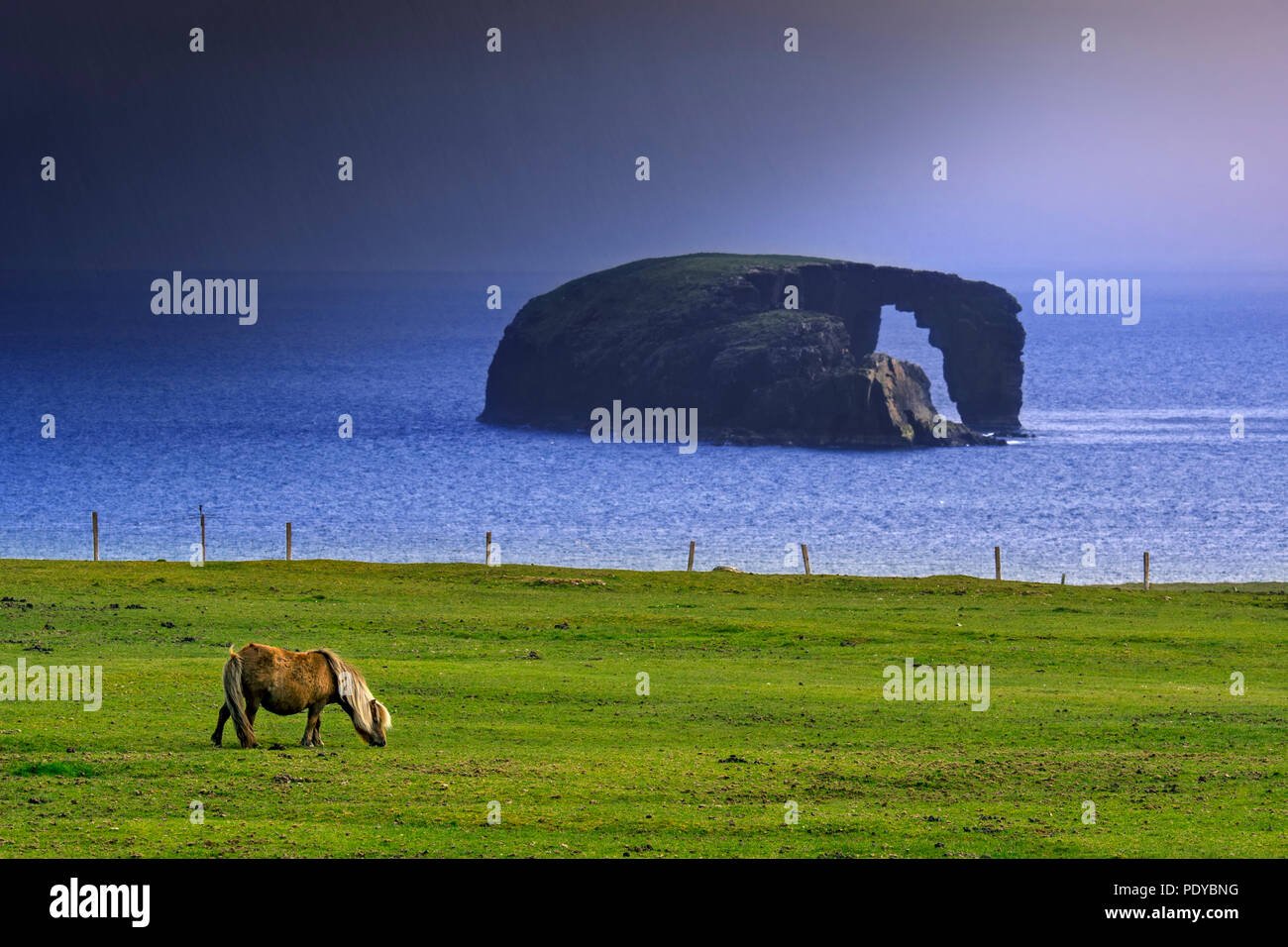 Shetland pony and Dore Holm, small islet with natural arch off the coast of Stenness, Esha Ness / Eshaness during downpour  on Mainland Shetland, Scot - Stock Image