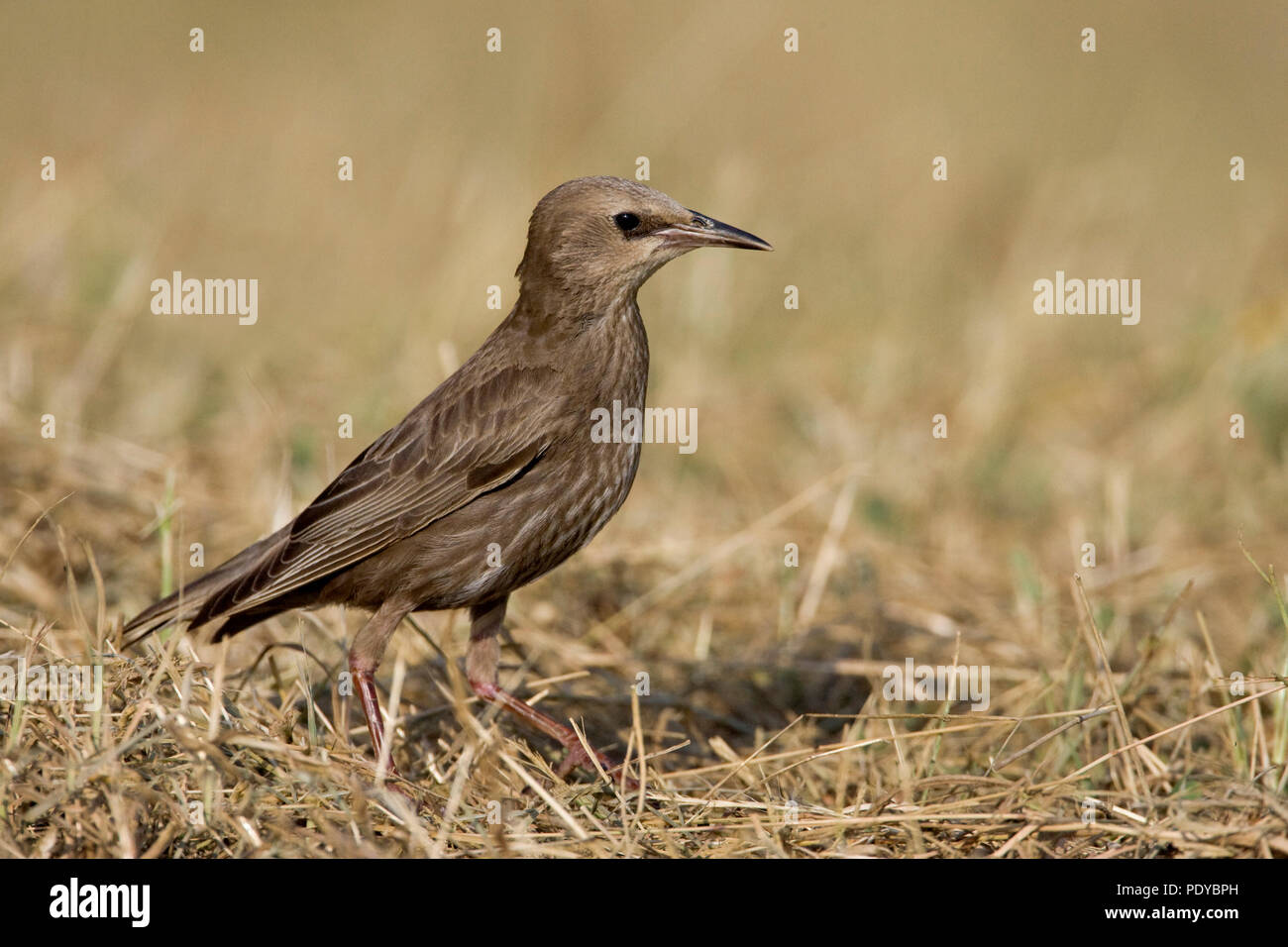 Common Starling sitting between shriveled grass. - Stock Image