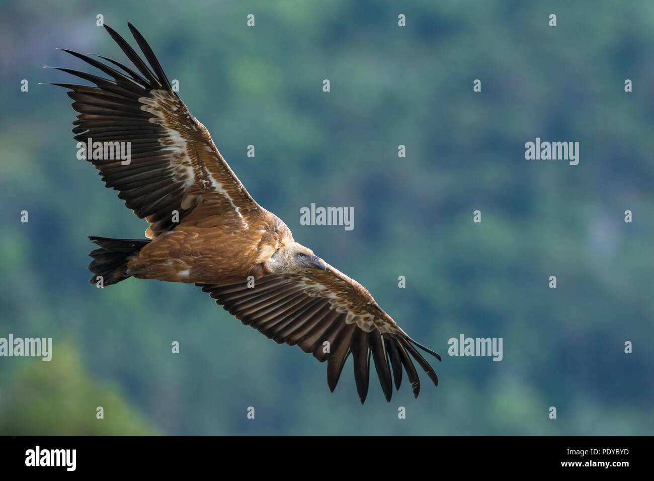 Griffon Vulture (Gyps fulvus) flying - Stock Image