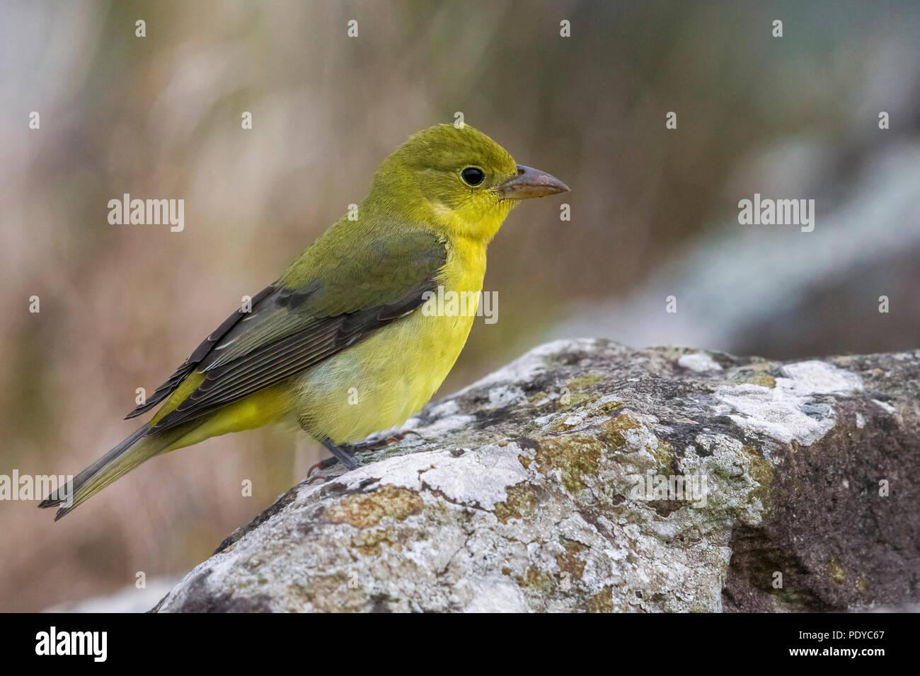 Scarlet Tanager; Piranga olivacea - Stock Image