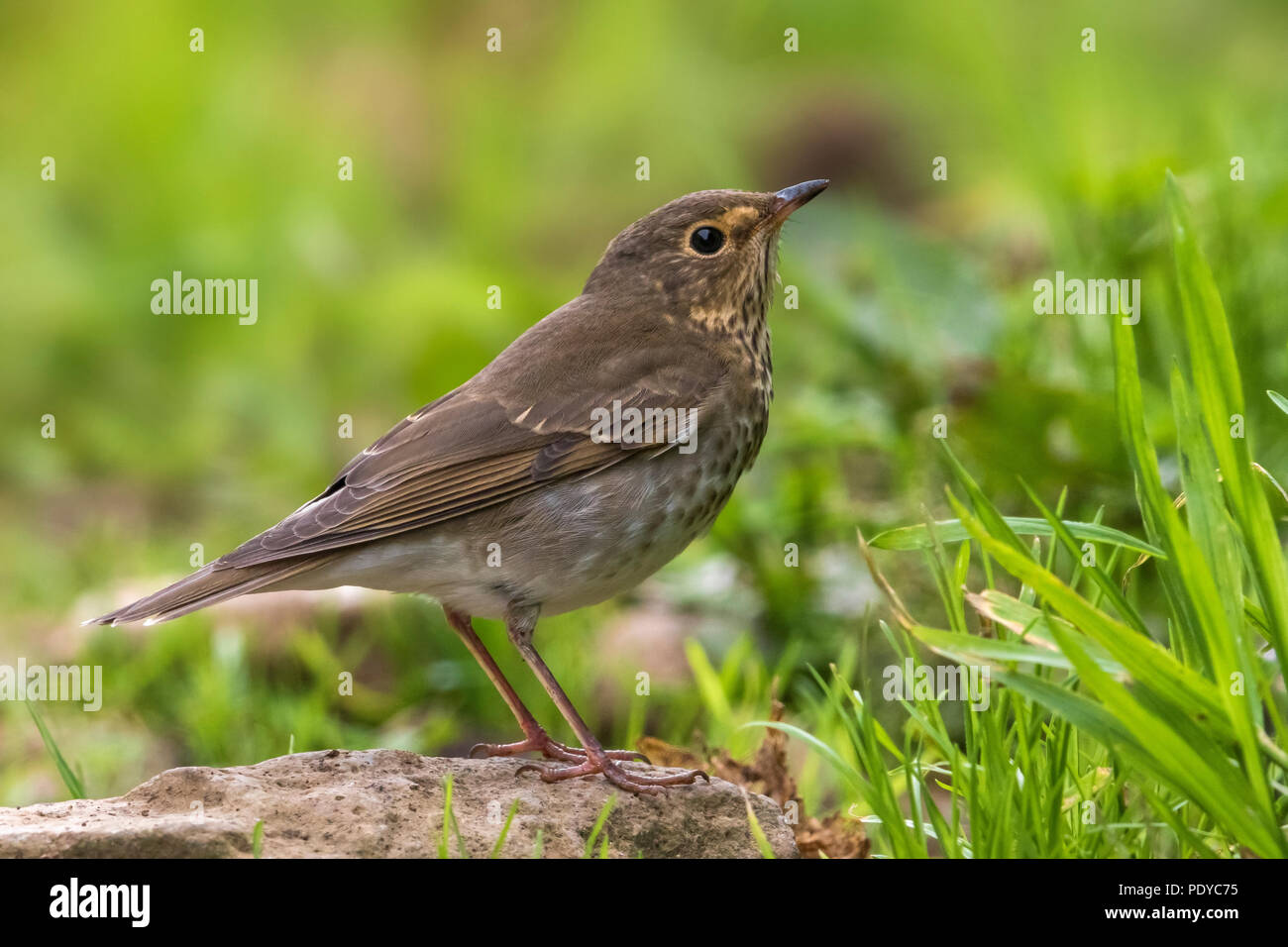 Swainson's Thrush; Catharus ustulatus Stock Photo