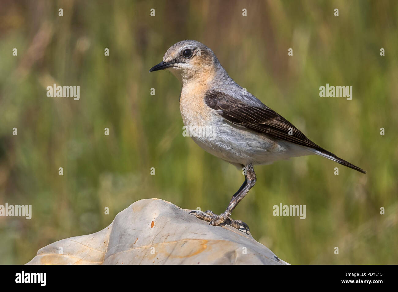 Tapuit; Northern Wheatear; Oenanthe oenanthe Stock Photo