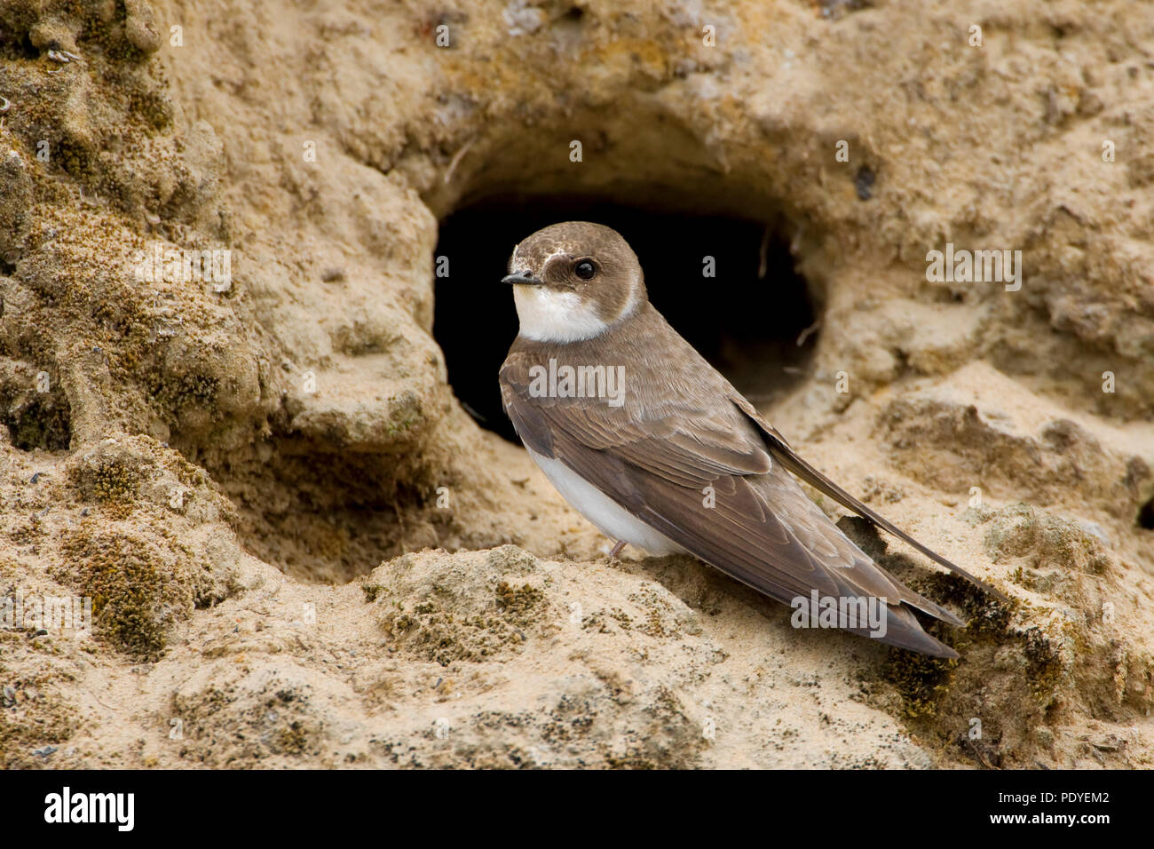 Oeverzwaluw voor nestgatSand Martin sitting in front of the hole of its nest. - Stock Image