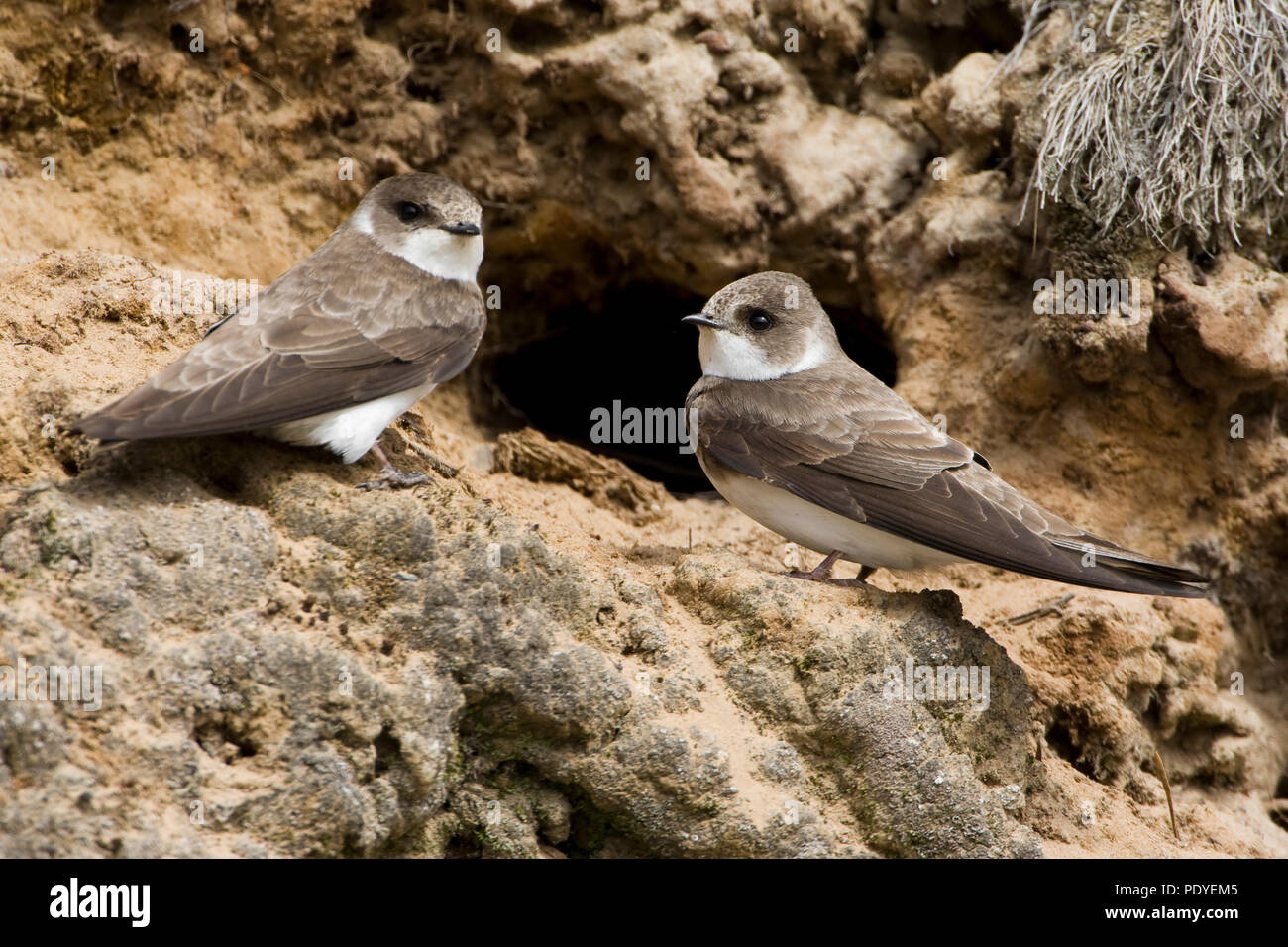 Oeverzwaluwen voor nestgatSand Martin sitting in front ofthe hole of its nest. - Stock Image