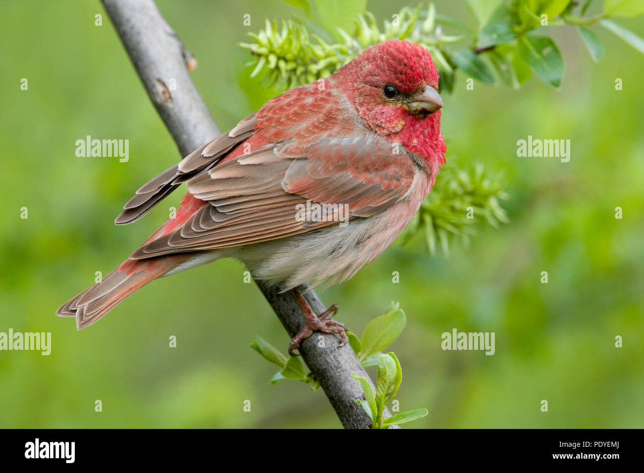 A Scarlet Rosefinch on a twig - Stock Image
