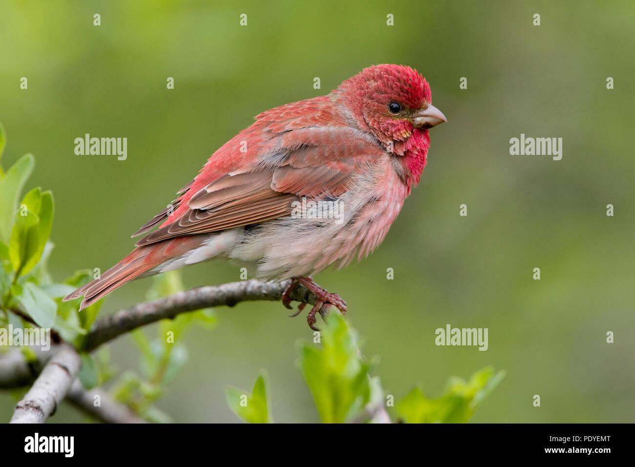 A Scarlet Rosefinch on a spray. - Stock Image