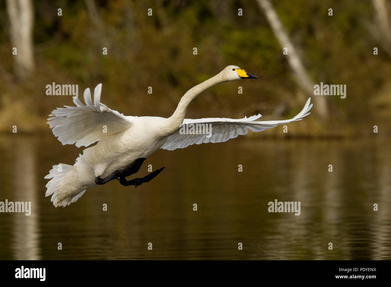 Wilde zwaan met aanzet tot landing op het water.Whooper Swan starting to make a landing on the water. - Stock Image