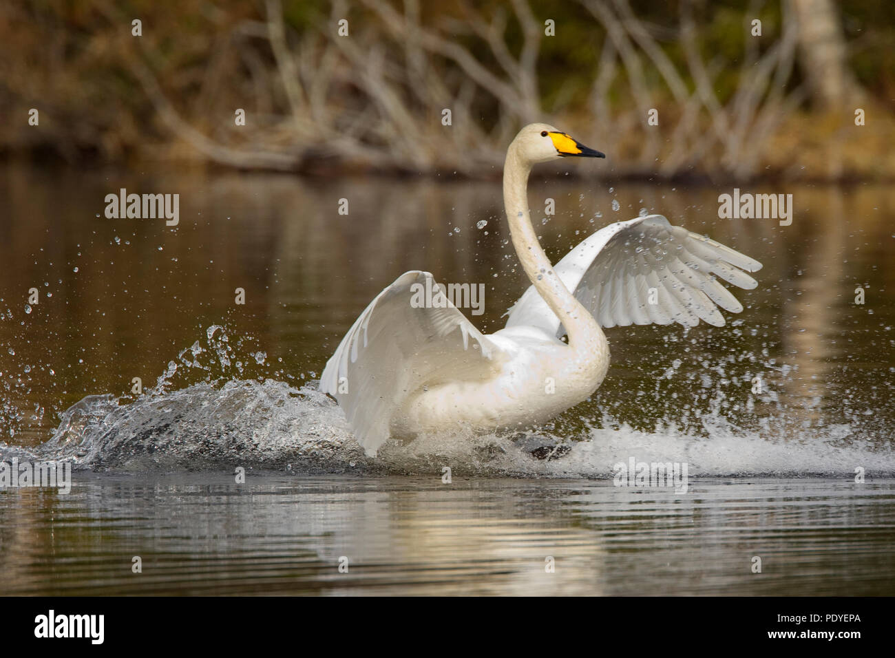 Wilde zwaan met landing op het water.Whooper Swan making a landing on the water. - Stock Image