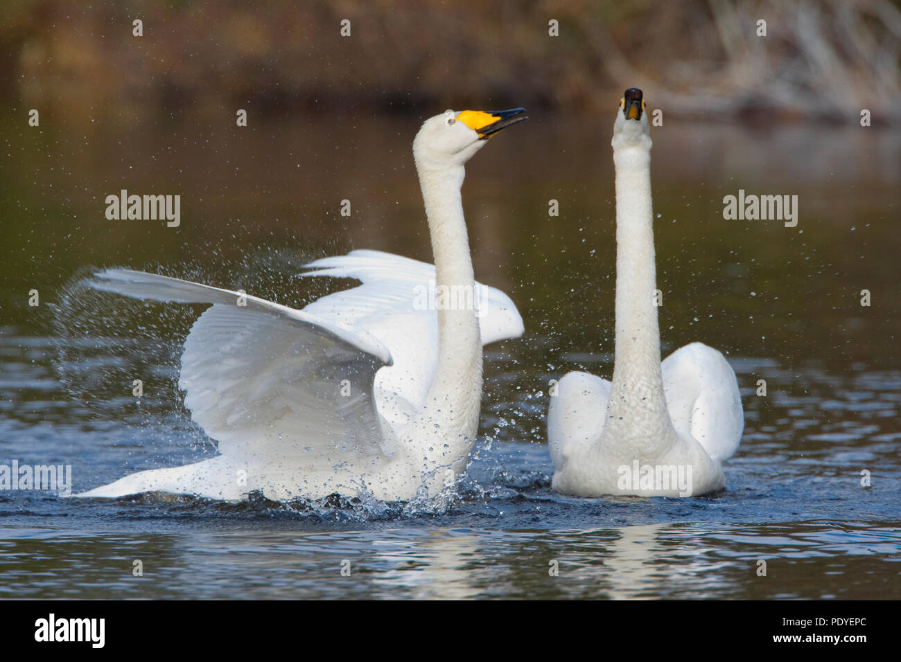 Koppel wilde zwanen met paringsritueel.A pair of Whooper Swans with courtship display. Stock Photo