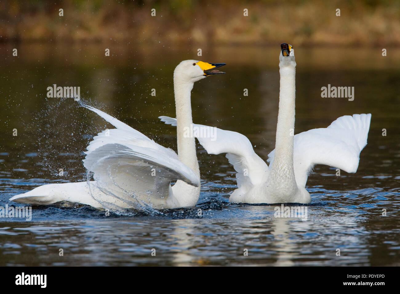 Koppel wilde zwanen met paringsritueel.A pair of Whooper Swans with courtship display. Stock Photo