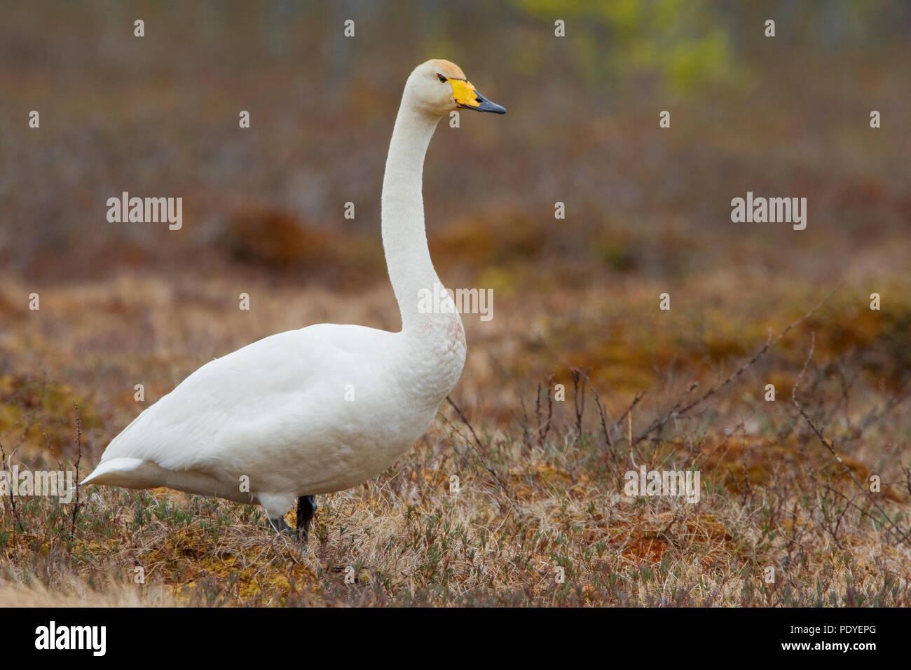Een eenzame wilde gans.A lonely Whooper Swan. Stock Photo