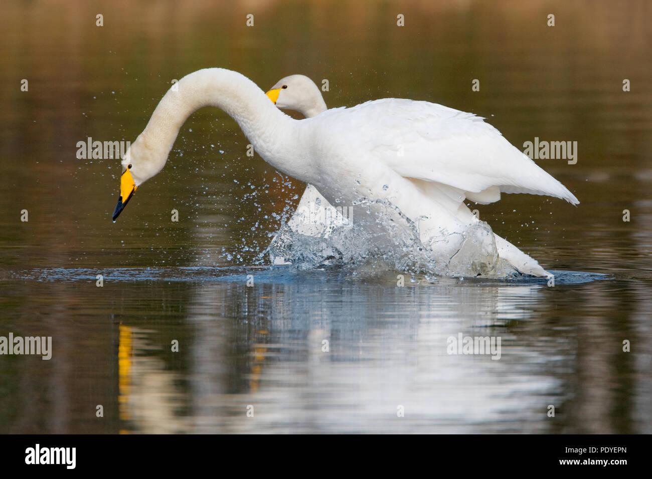 Twee wilde zwanen met klapperende vleugels.Two Whooper Swans with flapping wings. Stock Photo