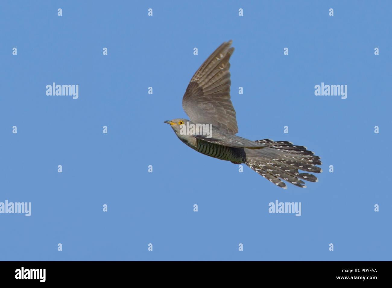 flying Cuckoo against blue sky Stock Photo