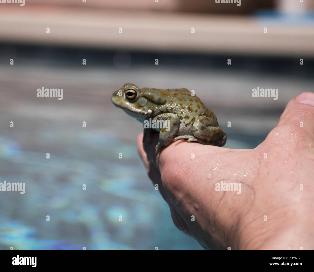 Holding a desert toad in hand. Close up of a frog with shallow dept of field background. Stock Photo