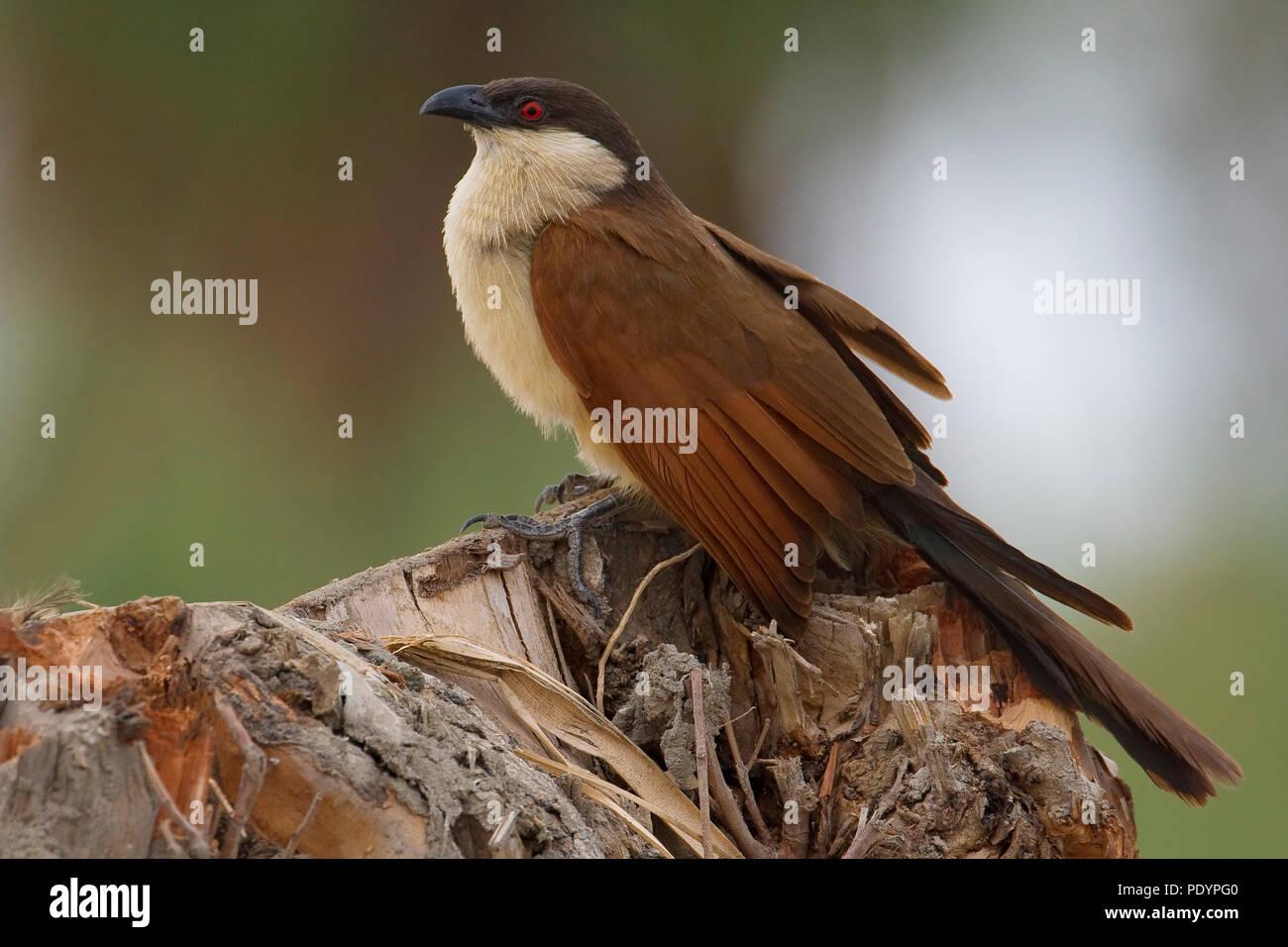 Senegal Coucal; Centropus senegalensis; Senegalese Spoorkoekoek - Stock Image