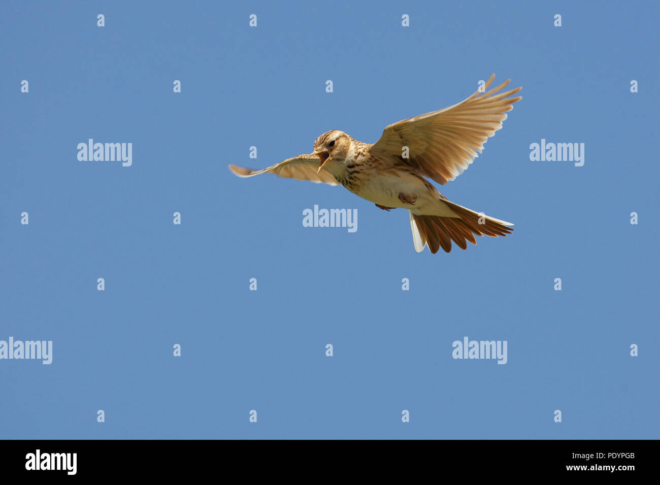 Common Skylark singing in mid air; Alauda arvensis; Veldleeuwerik tijdens zangvlucht - Stock Image