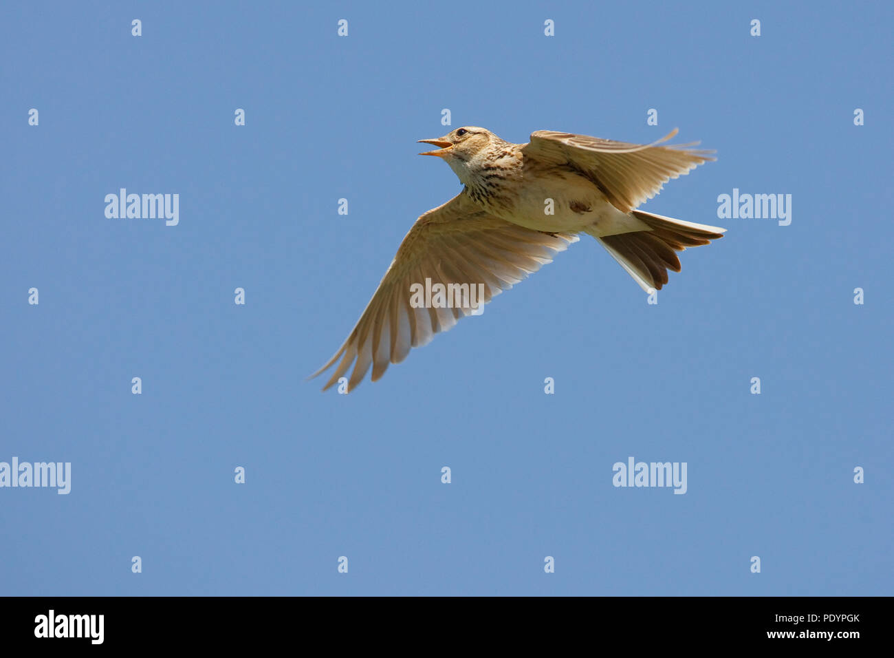 Common Skylark singing and flying; Alauda arvensis; Veldleeuwerik zingend en vliegend - Stock Image