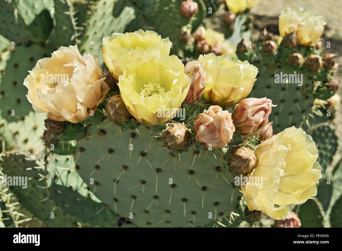 plants of prickly pears, Opuntia robusta, in blooming Stock Photo