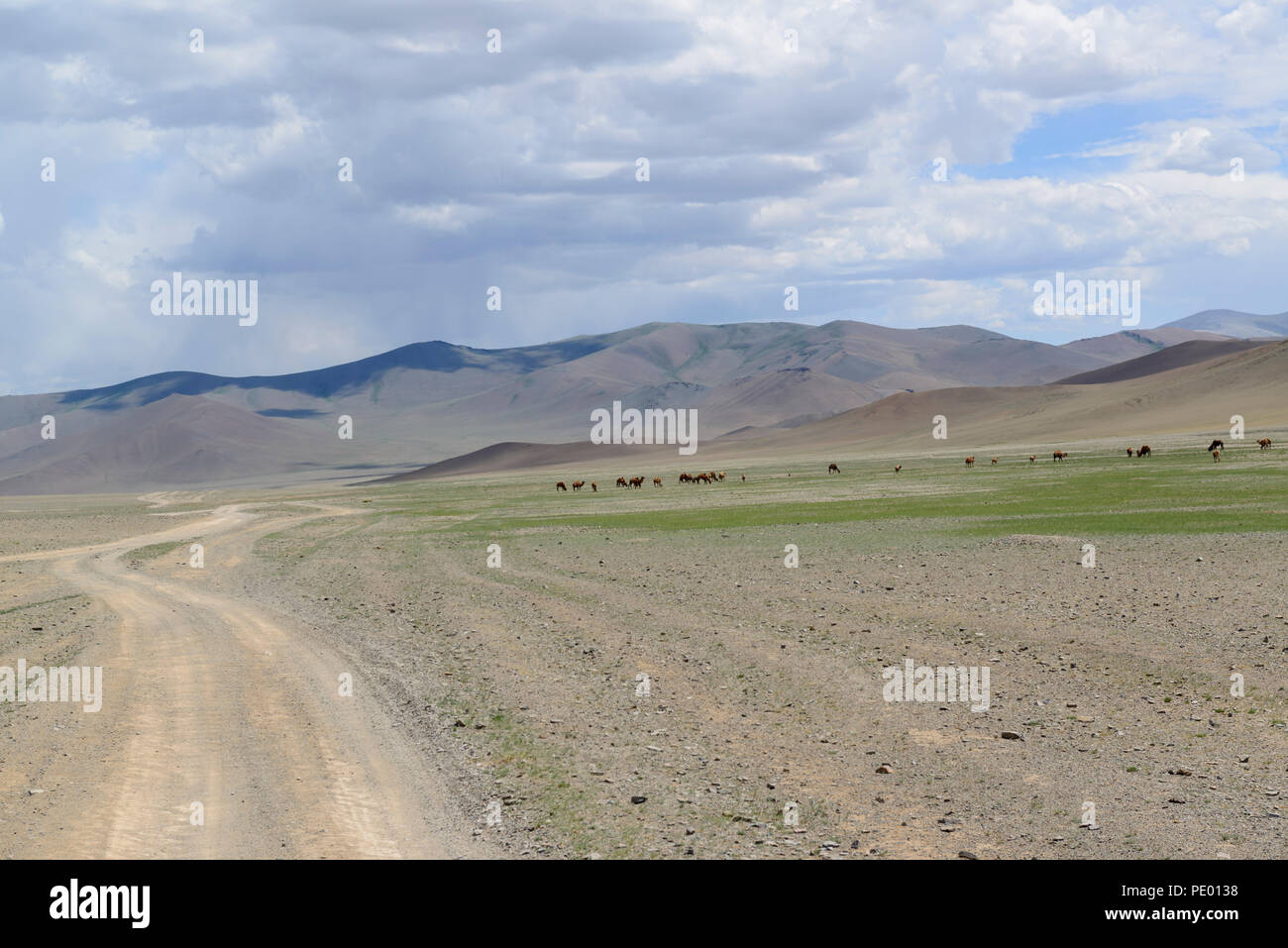 Camels in the distance on the steppe of Mongolia - Stock Image