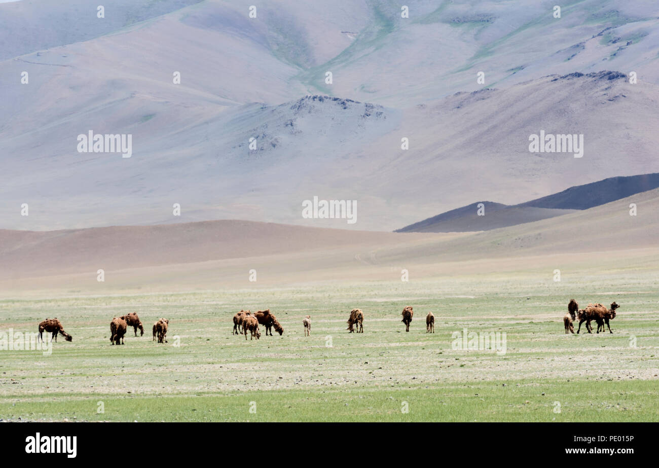 Camels in  the steppe of Mongolia. Stock Photo