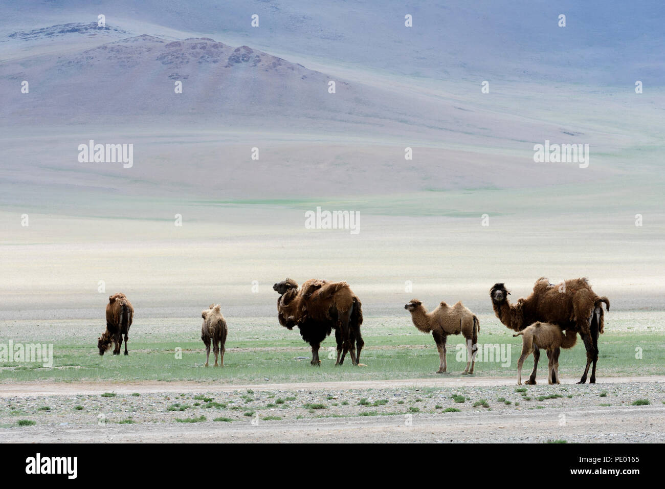 Camels in  the steppe of Mongolia. - Stock Image