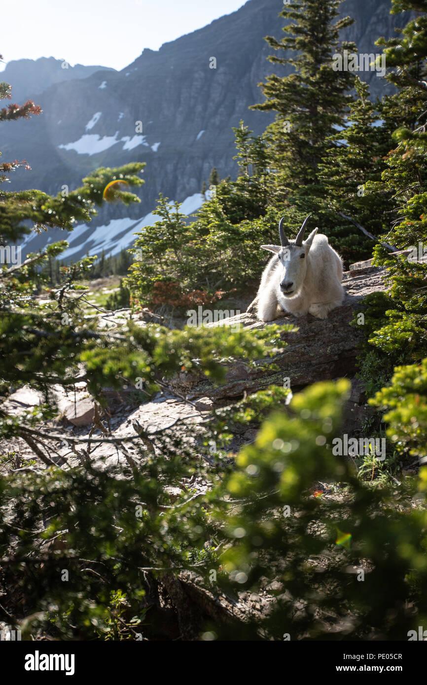 Goat lick east glacier