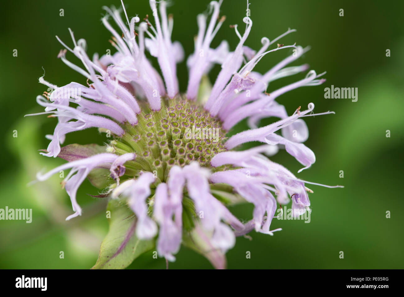 Pale bee balm blossom - Stock Image