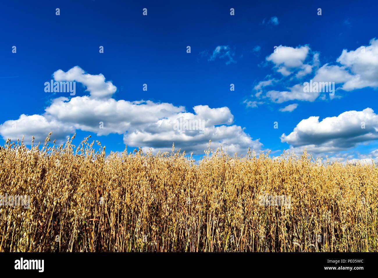 Die Wiesenrunde zaubert den Wanderer in eine Märchenwelt. Hafer-Feld an Sommertag Stock Photo