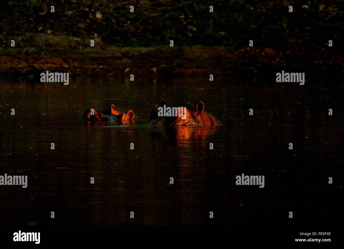 Hippopotamus, Hippopotamus Amphibious. Zambezi river. Mana Pools National Park. Zimbabwe Stock Photo