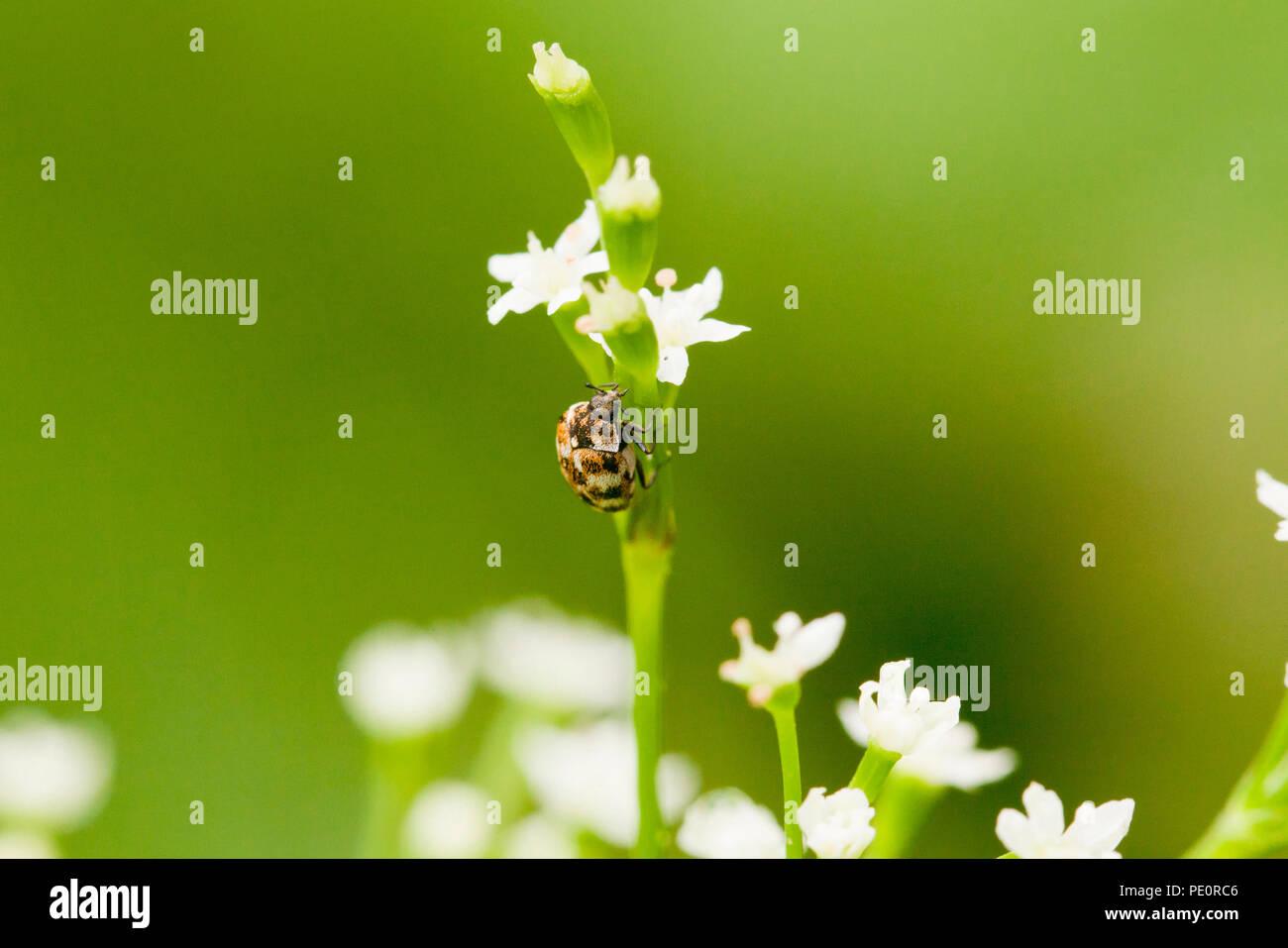 Varied Carpet beetle (Anthrenus verbasci) - USA - Stock Image