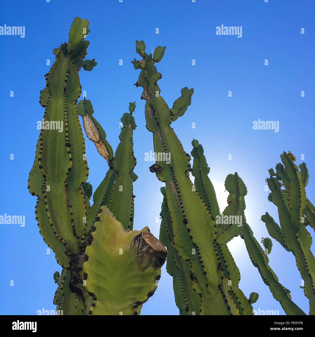Low Angle View Of Cereus Peruvianus tree succulents over a blue sky. Column cactus succulent garden with copy space. - Stock Photo