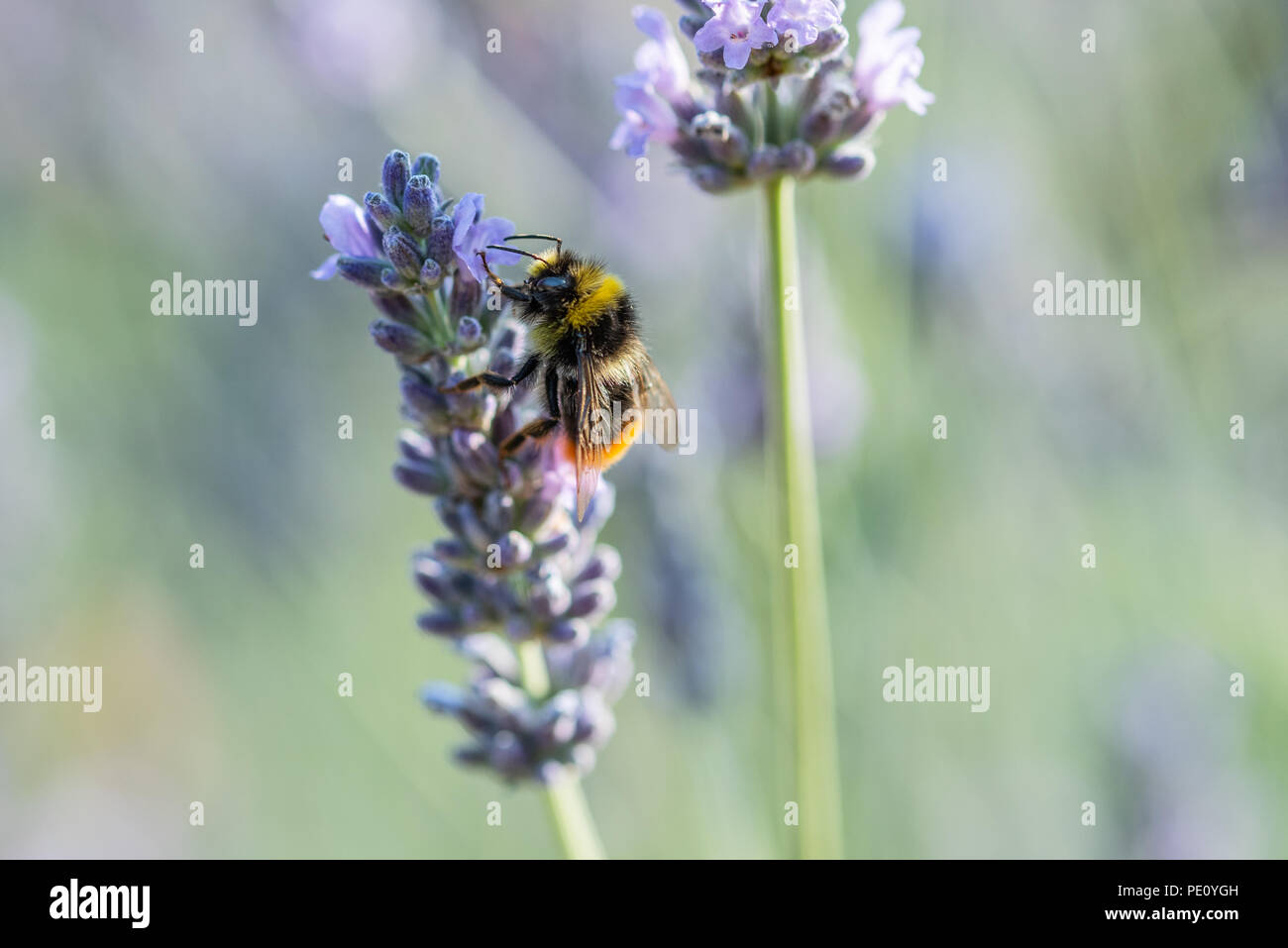 Busy Bee pollenating the lavender - Stock Image