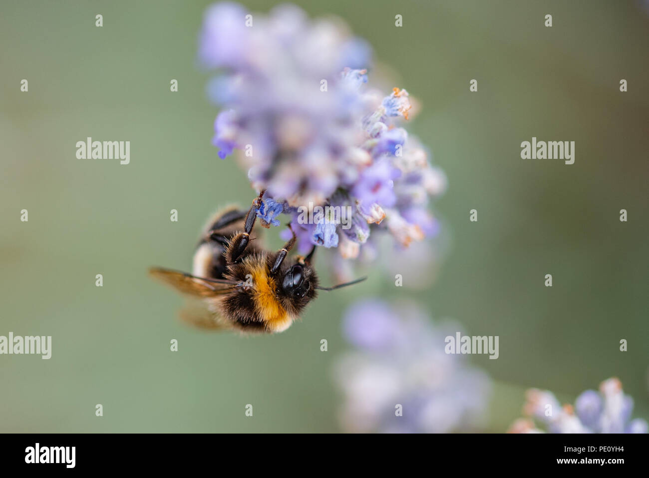 Busy Bee pollenating the lavender Stock Photo