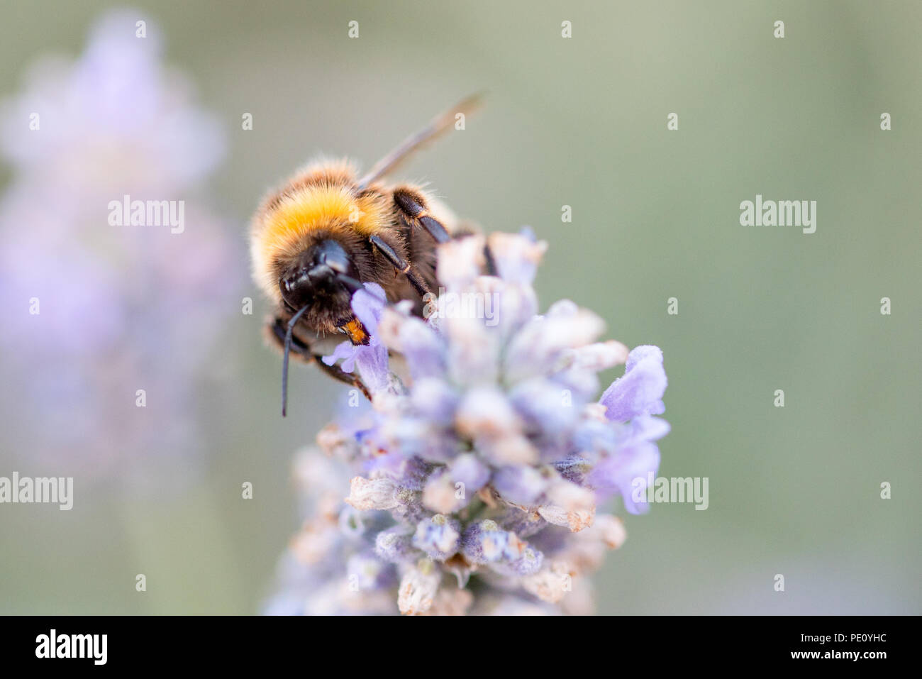 Bees Pollinating Lavender Stock Photo