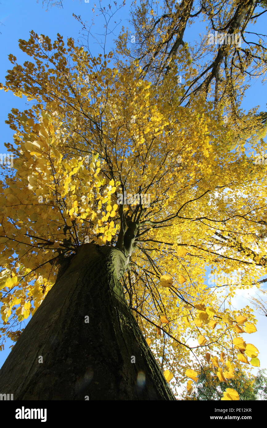 Autumn tree from below - Stock Image